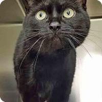 Adopt A Pet :: Nebula - Channahon, IL