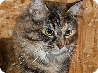 Maine Coon Cat for adoption in Stafford, Virginia - Della Reese