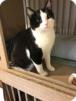 Domestic Shorthair Cat for adoption in Hanna City, Illinois - Bud-adoption pending