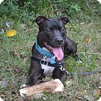 Adopt A Pet :: Moxie - Houston, TX