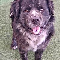 Adopt A Pet :: Wookie - Phoenix, AZ