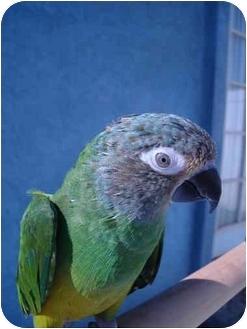 Conure for adoption in Redlands, California - Angel