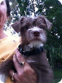 Bichon Frise/Poodle (Miniature) Mix Puppy for adoption in Kingwood, Texas - Lucas