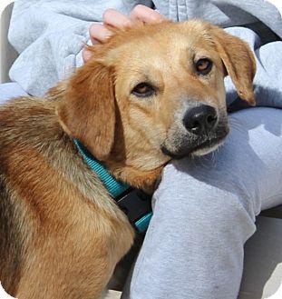 Shepherd (Unknown Type) Mix Dog for adoption in Largo, Florida - Shelly