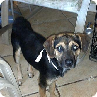Beagle Mix Dog for adoption in San Diego, California - Max URGENT