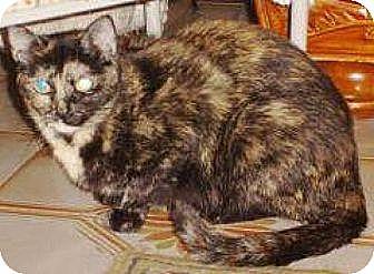 Domestic Shorthair Cat for adoption in Miami, Florida - Debbie