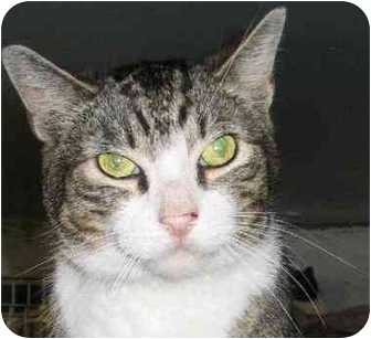 Domestic Shorthair Cat for adoption in Jamaica, New York - Sam Adams