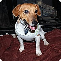 Adopt A Pet :: Scout in Tulsa - Oklahoma City, OK