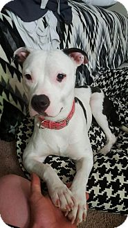 Pit Bull Terrier Mix Puppy for adoption in Sacramento, California - Cutie