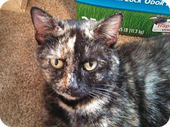 Domestic Shorthair Cat for adoption in Bedford, Virginia - Ciera