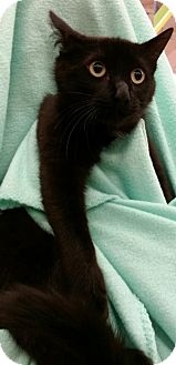 Bombay Cat for adoption in Orland Park, Illinois - Gary