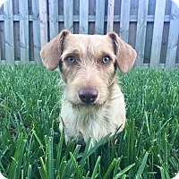Adopt A Pet :: Rhett - Homestead, FL