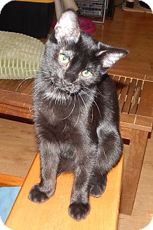 Bombay Kitten for adoption in Plano, Texas - GONZO - SIMPLY ADORABLE!!!