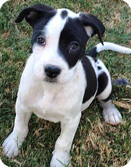 American Staffordshire Terrier Mix Puppy for adoption in Colmar, Pennsylvania - Jersie