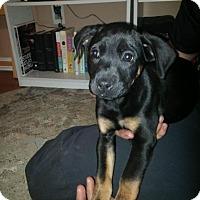 Adopt A Pet :: Ziva - Charlotte, NC