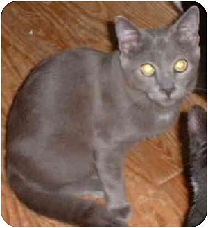 Domestic Shorthair Cat for adoption in Stuarts Draft, Virginia - Pawlie