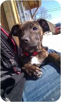 Terrier (Unknown Type, Medium)/Greyhound Mix Puppy for adoption in Silver Lake, Wisconsin - Huntlee