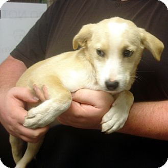 Labrador Retriever Mix Puppy for adoption in Greencastle, North Carolina - Vanessa
