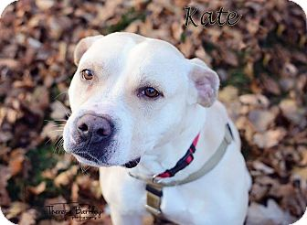 American Staffordshire Terrier/Labrador Retriever Mix Dog for adoption in Chicago, Illinois - Kate