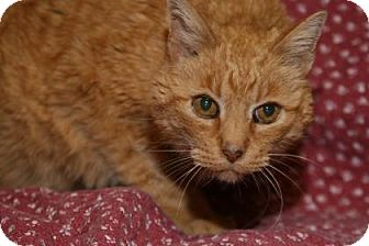 Domestic Shorthair Cat for adoption in Rapid City, South Dakota - Prince Charming