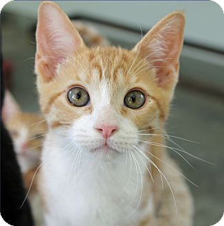 Domestic Shorthair Cat for adoption in Mountain Center, California - Conway Kitty