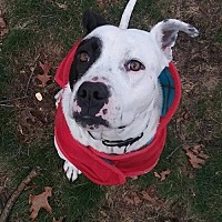 Adopt A Pet :: Odie - Whitestone, NY
