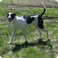 Adopt A Pet :: Bandit--in New England - Chichester, NH
