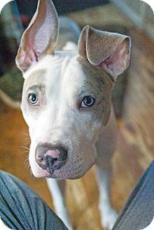 Pit Bull Terrier Mix Dog for adoption in Hillsborough, New Jersey - ZEPPELIN