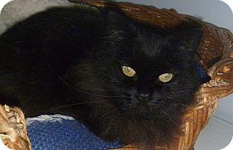 Domestic Longhair Cat for adoption in Hamburg, New York - Maisey