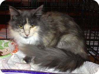 Domestic Longhair Cat for adoption in Troy, Ohio - Callie