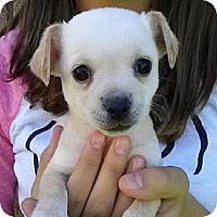 Adopt A Pet :: pup4 - Mesa, AZ