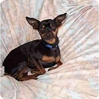 Adopt A Pet :: Snuggles - Phoenix, AZ