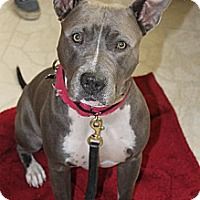 American Pit Bull Terrier Dog for adoption in Sacramento, California - Jelly