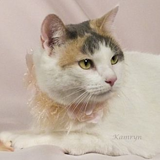 Domestic Shorthair Cat for adoption in Kerrville, Texas - Kamryn