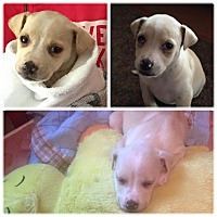 Adopt A Pet :: Spice - Wappingers, NY