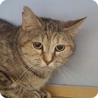 Domestic Shorthair Cat for adoption in East Norriton, Pennsylvania - chess