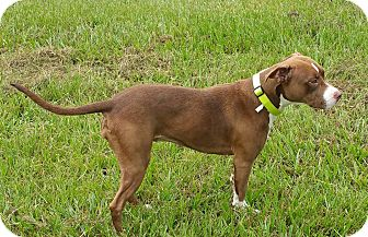 American Pit Bull Terrier/Pit Bull Terrier Mix Dog for adoption in Lorida, Florida - Grace