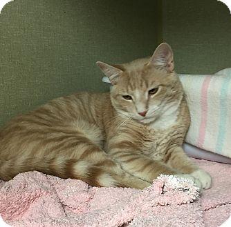 Domestic Shorthair Cat for adoption in Middletown, New York - Atlantis