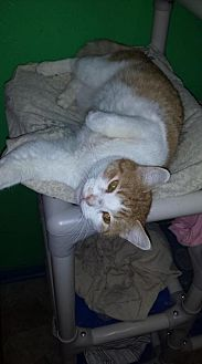 Domestic Shorthair Cat for adoption in Iroquois, Illinois - Benny