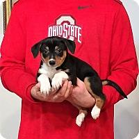 Adopt A Pet :: Phoenix - New Philadelphia, OH