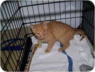 Domestic Shorthair Kitten for adoption in Syracuse, New York - Winky