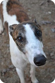 Greyhound Dog for adoption in Chagrin Falls, Ohio - Andy (No Time To Stay)