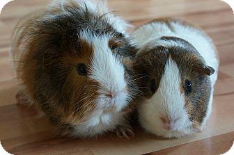 Guinea Pig for adoption in Brooklyn Park, Minnesota - Bandit & Mac