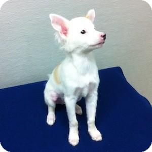 Pomeranian/Chihuahua Mix Puppy for adoption in Gilbert, Arizona - Marshmallow
