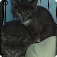 Adopt A Pet :: 2 Gray and White kittens - Westfield, MA