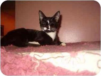 Domestic Shorthair Cat for adoption in Bedford, Massachusetts - Mason