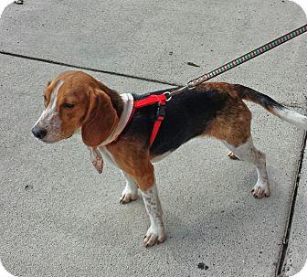Beagle Puppy for adoption in Alexis, North Carolina - Jada