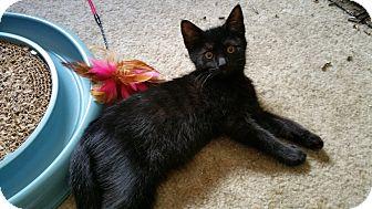 Domestic Shorthair Cat for adoption in Philadelphia, Pennsylvania - Lilac