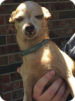 Chihuahua Mix Dog for adoption in Blanchard, Oklahoma - Captain Jack