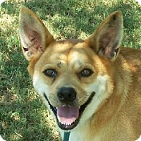 Canaan Dog Mix Dog for adoption in Conway, Arkansas - Milton
